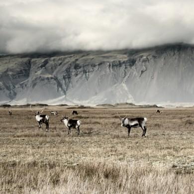 Iceland 2014 Rentiere