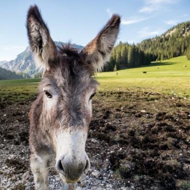 Alpen Sommer 2017 - Esel