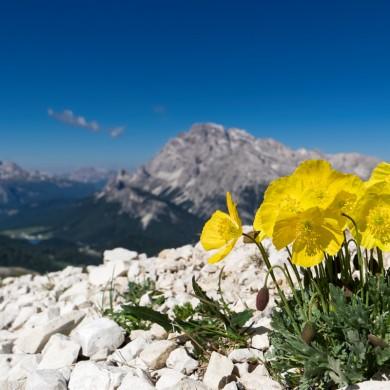 Alpen Sommer 2017 - Alpenmohn